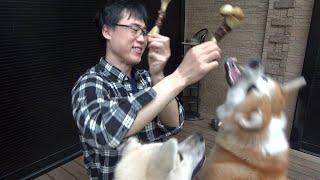 秋田犬の牛骨咀嚼音ASMR撮ろうとしたら大ゲンカになりました。