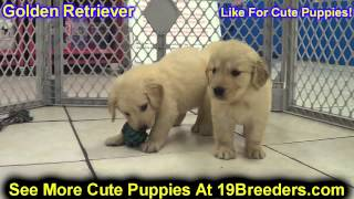 Golden Retriever, Puppies, For, Sale, In, Edmond, Oklahoma, Ok, Cleveland, Comanche, Canadian, Roger