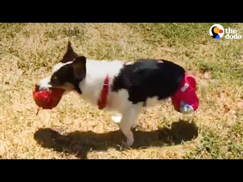2-Legged Corgi Rescued From Puppy Mill | The Dodo