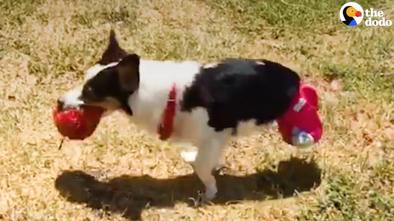 2 Legged Corgi Rescued From Puppy Mill The Dodo Youtube