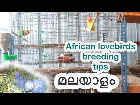 African lovebirds breeding tips  in Malayalam ( മലയാളം)
