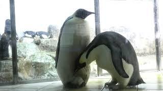 OCT 2018 Emperor penguin 生後22日 元々お母さんペンギンが赤ちゃんを...