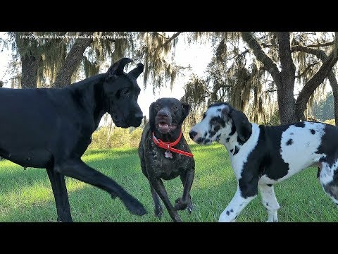Joyful Great Dane Puppy and Pointer Play Date  ~ Iphone 8 Plus Zoom Video