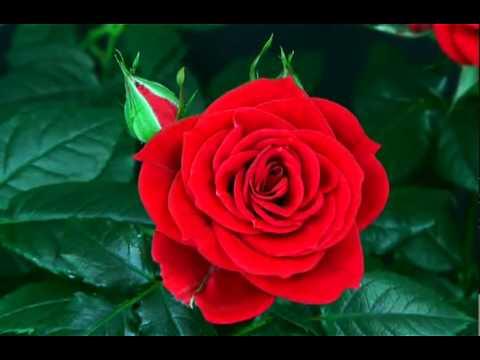 YouTube - flower blooming rose.flv