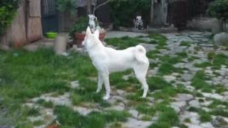 Security canaan dog