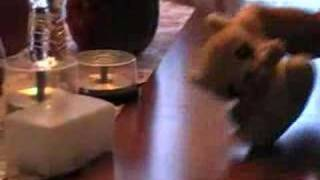 Rocky the Raccoon Dancing