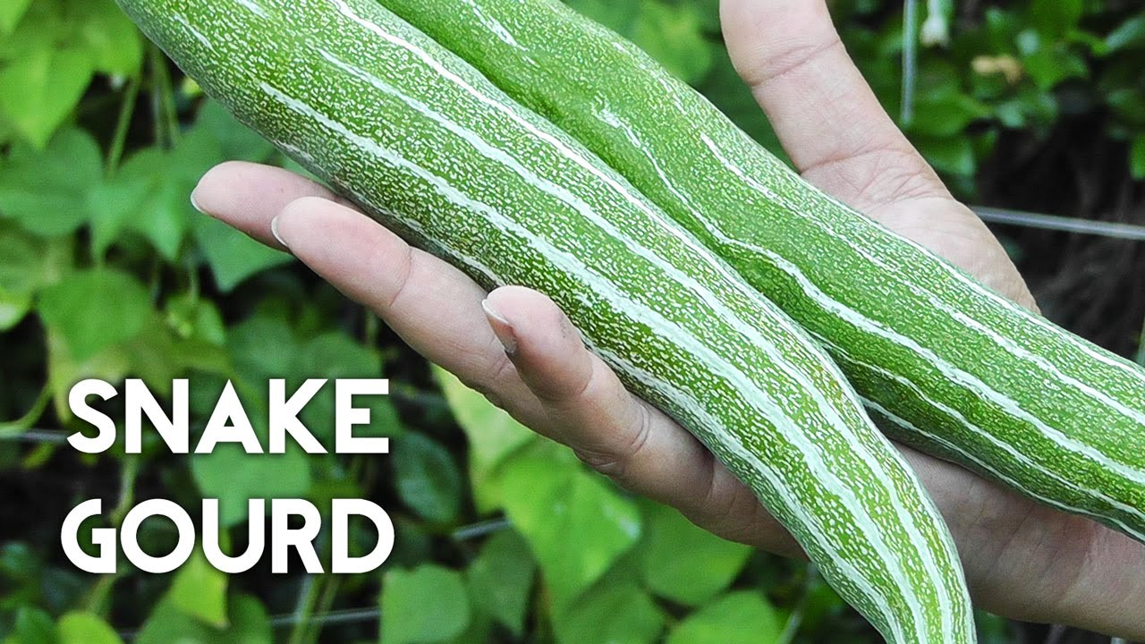 growing gourds part 3 of 5 snake gourds youtube