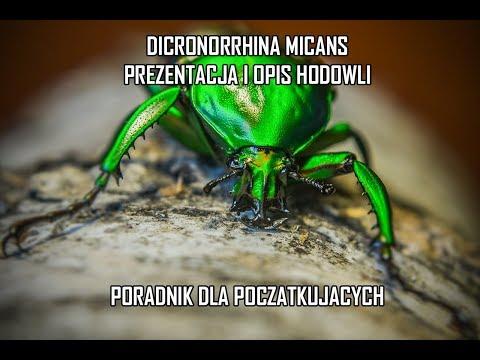 [Prezentacja + opis hodowli] Chrząszcze: Dicronorrhina micans