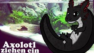 Axolotl ziehen ein