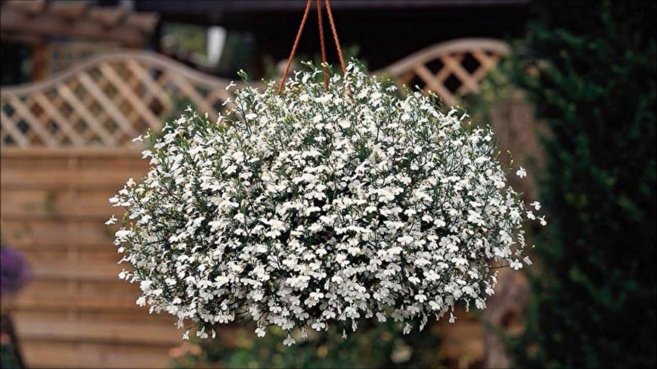 Лобелия- изящный цветок для сада!Простой способ посадки лобелии без пикировки! Всходы лобелии и уход
