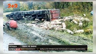 На Полтавщині перекинулась фура, що перевозила свиней