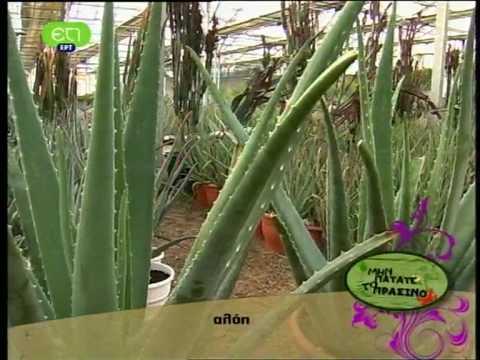 Aloe vera Αλόη βέρα