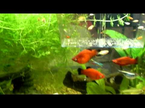 Mickey Mouse Platy Babies 1 Week To 3 Month