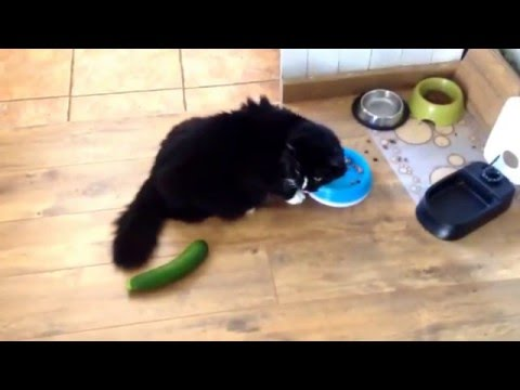 Thumbnail for Cat Video Cat vs Cucumber (Courgette actually)