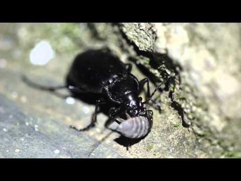 Ground beetle eating an isopod
