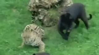 Animal fights Animal attacks. ライオン VS トラ - トップ 5 アタック ...
