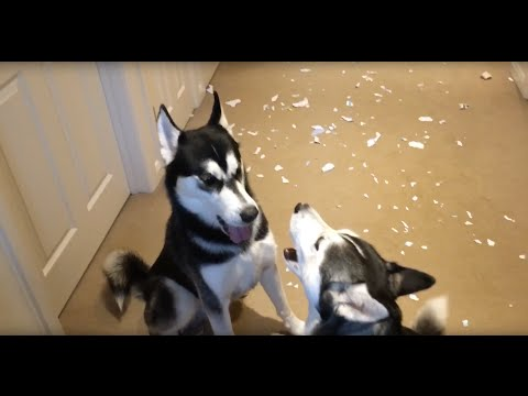 Huskies arguing over who made the mess