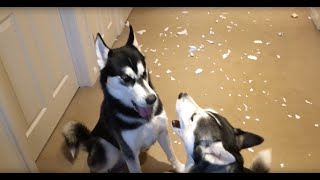 Huskies arguing over who made the mess thumbnail