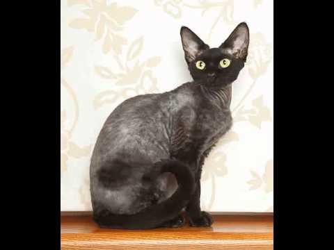 laperm cat rescue adoption