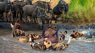 Wild Dogs vs Wildebeest | Summary Of Lion's Failful Hunts | Wild Animal Attacks