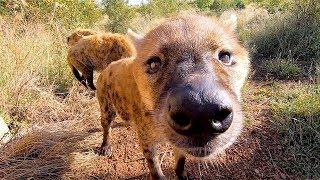 Meet The Hyenas Part 2 The Lion Whisperer