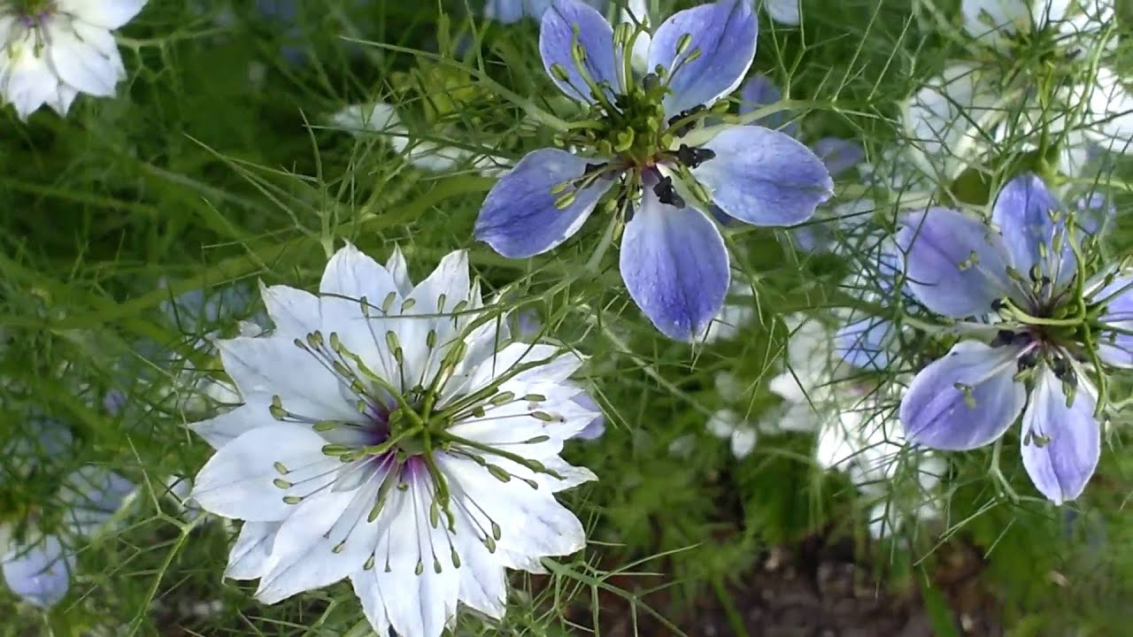 Nigella sativa (black caraway, also known as black cumin, nigella, and kalonji) is an annual flowering plant in the family Ranunculaceae, native to south and.