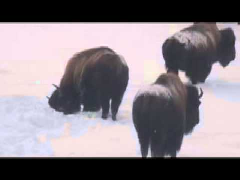 BISON IN YELLOWSTONE'S WINTER