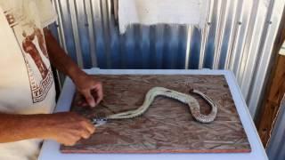 skinning a rattlesnake