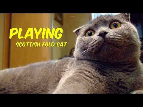 Funny Scottish Fold Cat Video