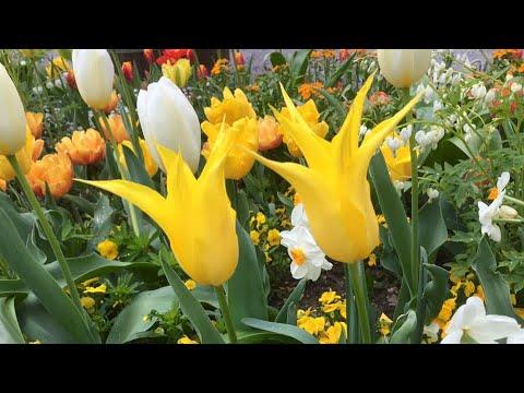 ดอกทิวลิปสีสันสวยงาม 🌷🌷🌷🌷♥️
