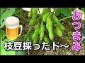 ビールのおつまみ、いや違う枝豆収穫【家庭菜園】 の動画、YouTube動画。