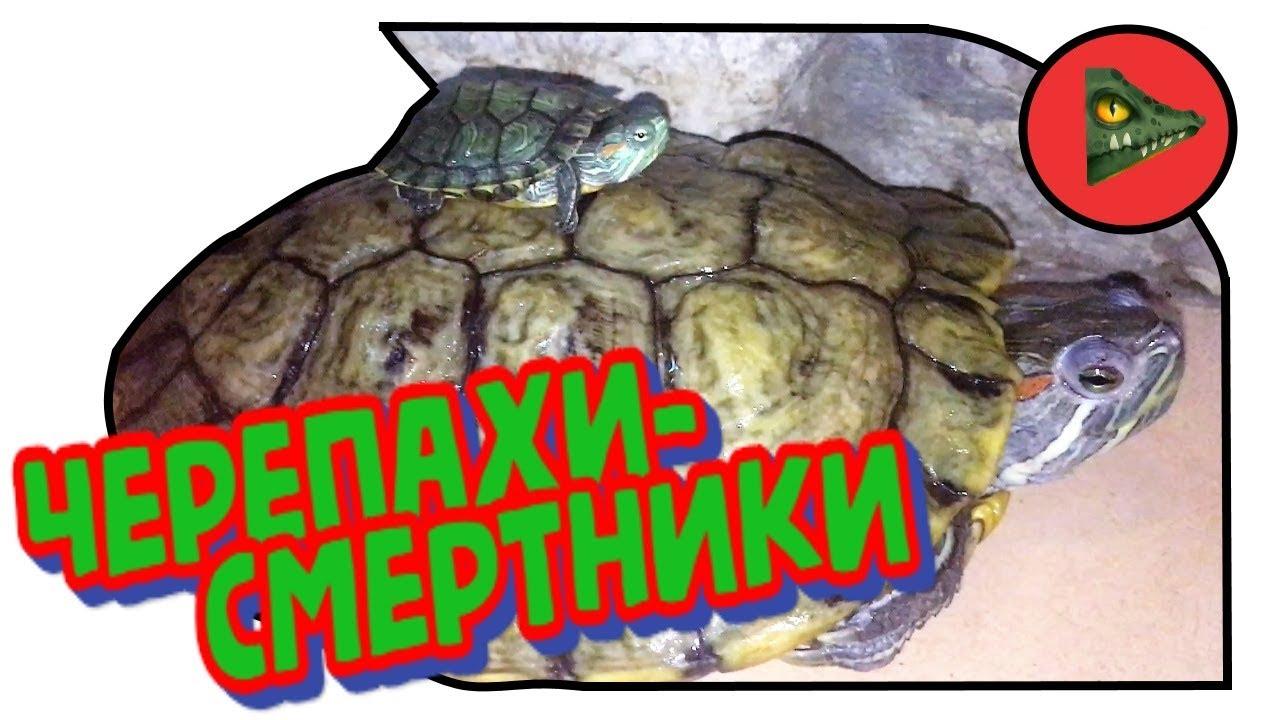 """ЧЕРЕПАХИ-СМЕРТНИКИ! Вся правда о """"карликовых"""" красноухих черепахах."""