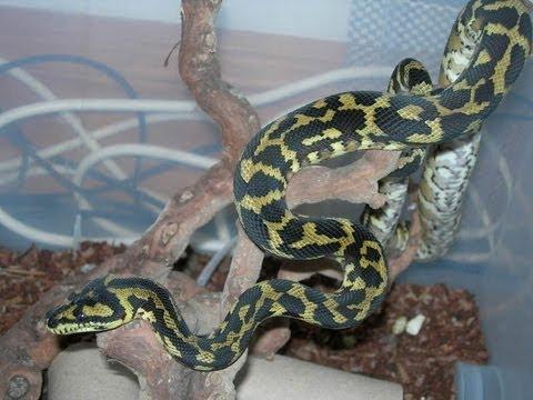 My Irian Jaya Carpet Python - YouTube