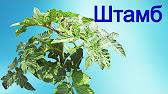 Фейхоа, реже акка селлова, акка фейхоа (лат. Ácca sellowiána) — вид вечнозелёных. Семена окружены белой полупрозрачной кислой пульпой; кожура от жёлто-зелёной гладкой до тёмно-зелёной бугристой, иногда с.