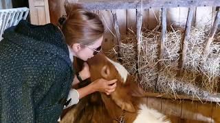Милое общение Оксаны Марченко с маленьким теленком