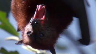 Giant Fruit Bats   Benedict Cumberbatch narrates South Pacific   BBC