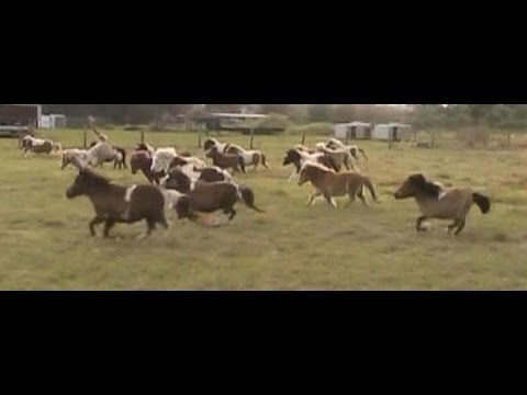 A small group of miniature horse mares running