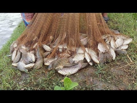 Net Fishing | Here is The Big Catch & You Don't Believe That How Many Fishes Catch by Cast Net