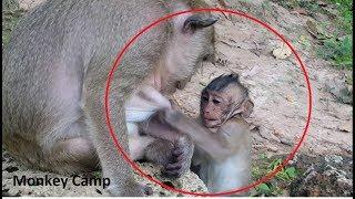 Baby monkey want breastfeeding but Mum not allow, Monkey Camp part 1233
