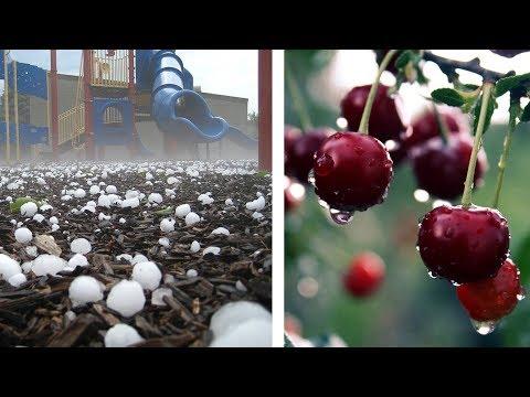 Богатый урожай в Таджикистане, град в Кыргызстане. Погода в СНГ