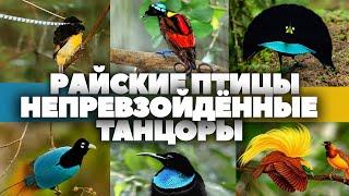 Райские птицы - непревзойдённые танцоры.  HD 1080. \