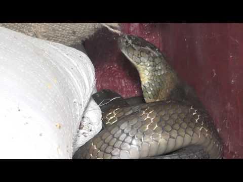 King cobra rescue - Agumbe, Thirthahalli Taluk, Shimoga District, Karnataka, India.