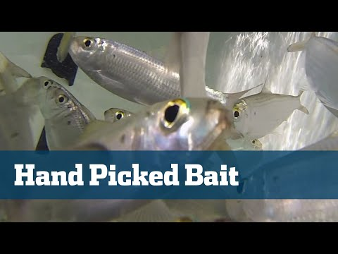 Florida Sport Fishing TV - Pro's Tip Picking The Best Live Bait Tips Practices
