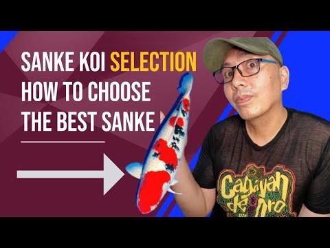 Sanke Koi Paano pumili nang magagandang sanke koi fish