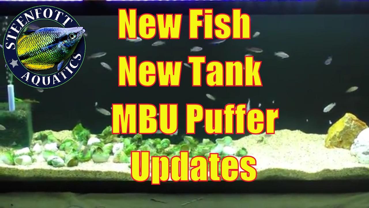 Vegetarian freshwater aquarium fish - Checking On The New Lake Tanganyika Aquarium The New Fish In The Fishroom And Mbu Puffer Eating