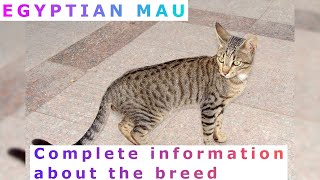 Egyptian Mau. Pros and Cons, Price, How to choose, Facts, Care, History