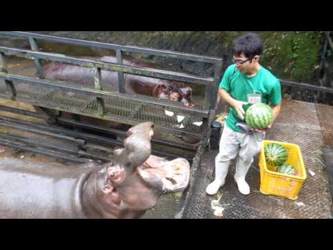 Thumbnail: Hippo Family Eating Watermelons&Baby hippo @Nagasaki Japan