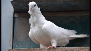 Бантастые голуби Морозова Сергея