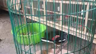 Ghé tiệm bán chim cảnh xem và hỏi giá chim, mua thêm một vài em về nuôi chơi.