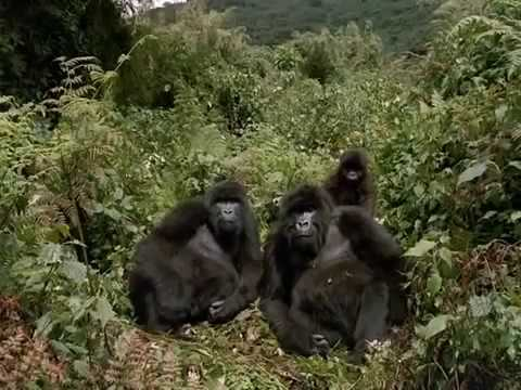 Wild Mountain Gorillas Documentary: Fighting to Survive!